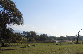 Sheep and emus
